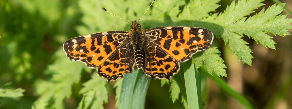 Schmetterling: Landkärtchen