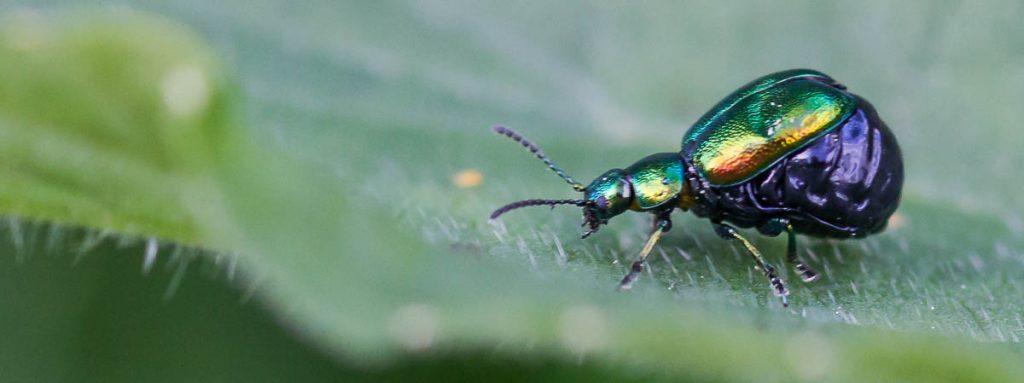 """Chrysomelidae (Blattkäfer), das Weibchen erscheint """"glänzend"""" vorbereitet zu sein, sehr viele Eier zu legen. Der Hinterleib passt nicht unter die Flügeldecken."""