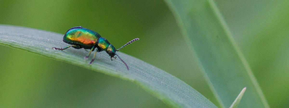 Chrysomelidae (Blattkäfer), Männchen, Gattung Chrysolina