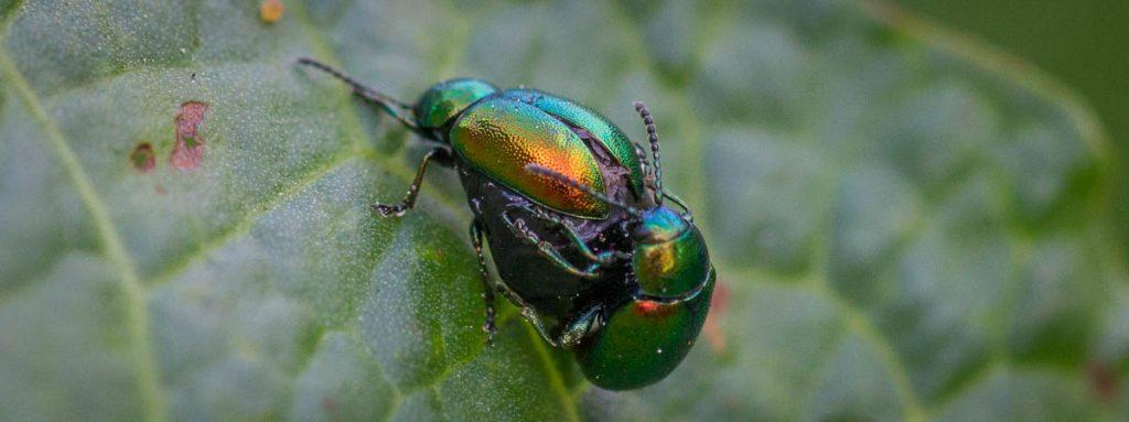Chrysomelidae (Blattkäfer) Pärchen