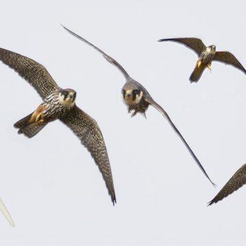 Baumfalken und Segelflieger