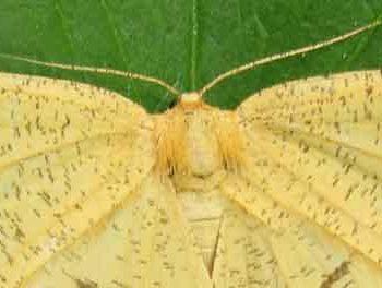 Schlehenspanner Angerona prunaria