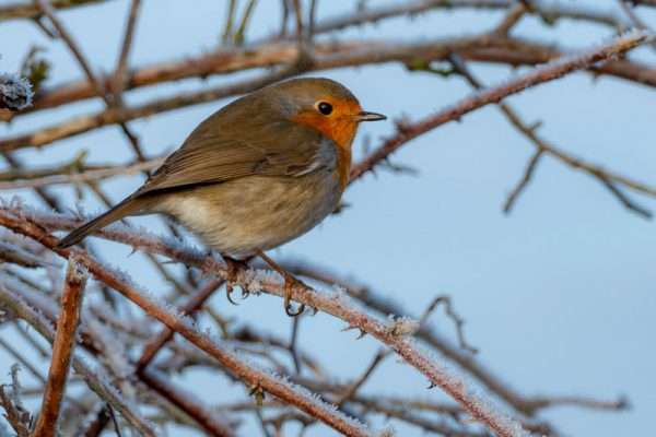 Rotkehlchen Raureif Führung Winter Tävsmoor